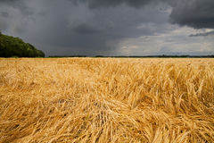 Barley crop flattened by wind and rain Stock Image