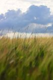 Barley Crop Growing Under Cloudy Sky Royalty Free Stock Images