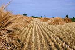 Barley crop harvest. Barley stacks on a field after harvest Stock Photos