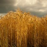 Barley crop in Lincolnshire,England. Royalty Free Stock Photography