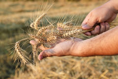 Barley crop. Stock Photography