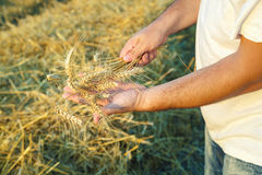 Barley crop Royalty Free Stock Image