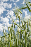 Barley crop plants on field Royalty Free Stock Images