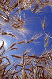 Barley crop. Worms eye view of ripe Barley crop backlit by sun Royalty Free Stock Photo