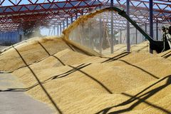 Barley crops being separated out of dust in the yard. royalty free stock photo