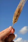 Barley Detail. Barley ear handheld before a blue sky Stock Image