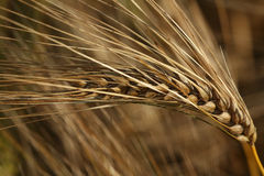 Barley Ear Stock Images