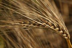 Barley Ear. A single ripe barley ear aginst the barley field background stock images