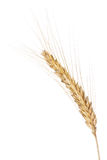 Barley ear. Closeup of a barley ear over a white background royalty free stock images
