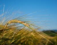 Barley ear royalty free stock image
