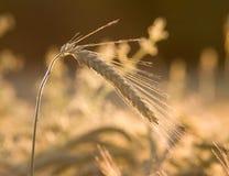 Barley ear Stock Images
