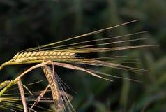 Barley ear Stock Photography