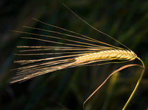 Barley ear. Close up of golden barley ear in springtime Royalty Free Stock Photo