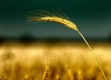 Barley ear Royalty Free Stock Photos