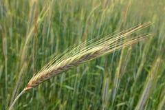 Barley, ear of corn Royalty Free Stock Image