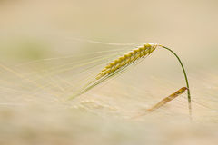 Barley. Ear of barley on the field stock photo