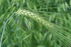 Barley ear Stock Photos