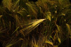 Barley ear highlighted. A rustic feel to a ripening barley crop with one ear highlighted royalty free stock image