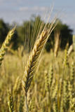 Barley ear Royalty Free Stock Photo