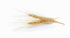 Barley ear on a white background Stock Photography