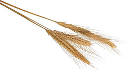 Barley ears Stock Images