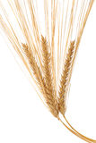 Barley Ears Stock Photo