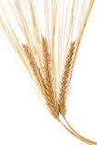 Barley Ears stock photo