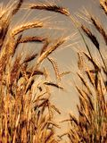 Barley ears Royalty Free Stock Image