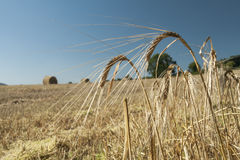 Barley Ears against blue sky and field. In Ireland Stock Photography