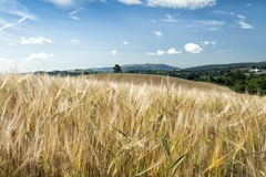 Barley Ears against blue sky and field. In Ireland stock image