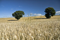Barley Ears against blue sky and field. With two trees in Ireland stock photo