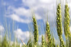 Barley Ears Against Blue Sky with White Clouds Stock Photo