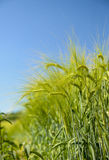Barley ears with blue sky Royalty Free Stock Photos