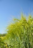 Barley ears with blue sky. 1 Royalty Free Stock Photos
