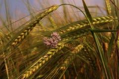 Barley ears close up Royalty Free Stock Photos