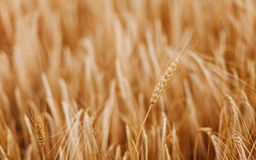 Barley ears Royalty Free Stock Images