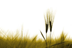 Barley ears in a field royalty free stock photography