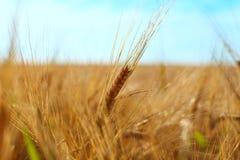 Barley Ears stock photos