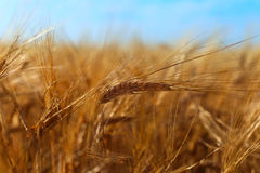 Barley Ears Royalty Free Stock Photography