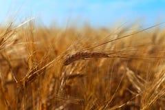 Barley Ears royalty free stock photography