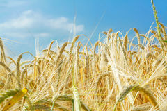 Barley ears ground view. Against the sky Royalty Free Stock Images