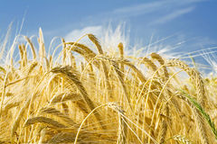 Barley ears ground view. Against the blue sky Stock Images