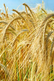 Barley ears ground view. Beautyful ripe barley ears and blue sky Royalty Free Stock Photos