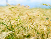 Barley ears ground view Stock Photography
