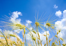 Barley ears ground view against the blue sky Stock Photography