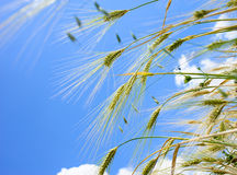 Barley ears ground view against the blue sky Stock Images