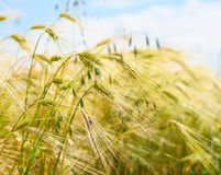 Barley ears ground view against the blue sky Royalty Free Stock Image