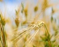 Barley ears ground view against the blue sky Stock Photos