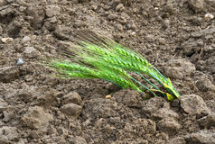 Barley ears Royalty Free Stock Image