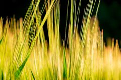 Barley ears in sunset royalty free stock photo